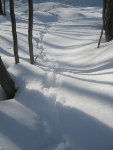 Winter Tracks...Did you know? Because of pectinations, which act like snowshoes on Ruffed Grouse's feet, the birds will not sink into the snow.