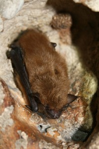 Big Brown Bat - image courtesy of USFWS via Flickr.