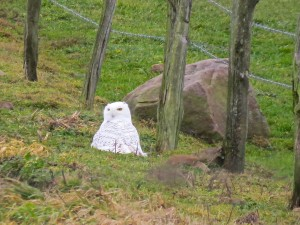 Logan's first snowy owl photo.