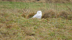 Logan's second Snowy Owl Photo