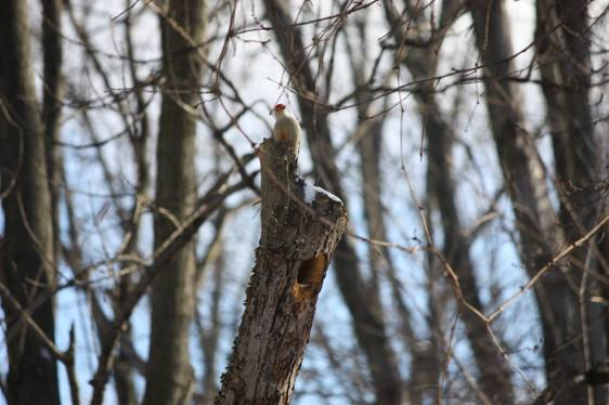 Female woodpecker checks out the male's handiwork.