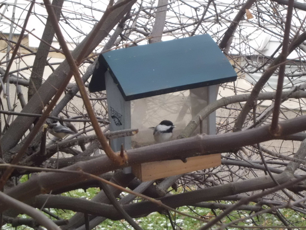 Black capped chickadee huddles near its home to stay warm.