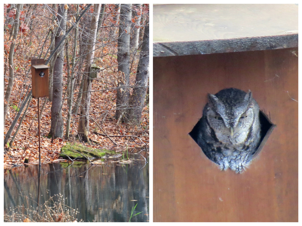 Screech Owl stakes his claim