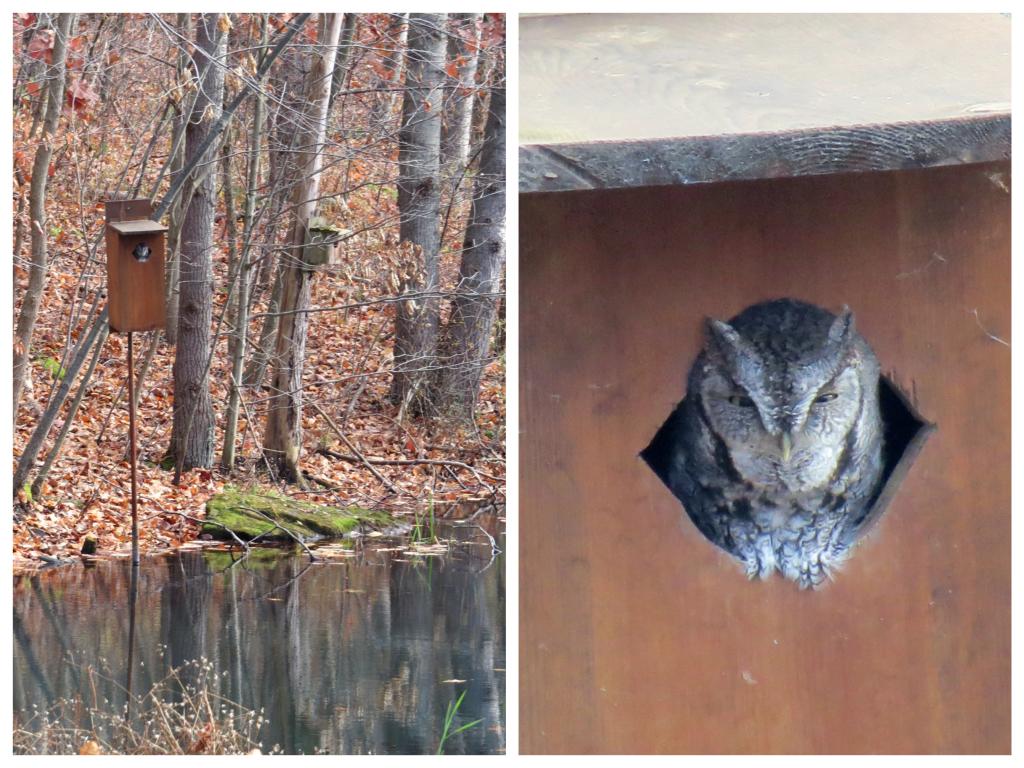 Screech Owl stakes his claim