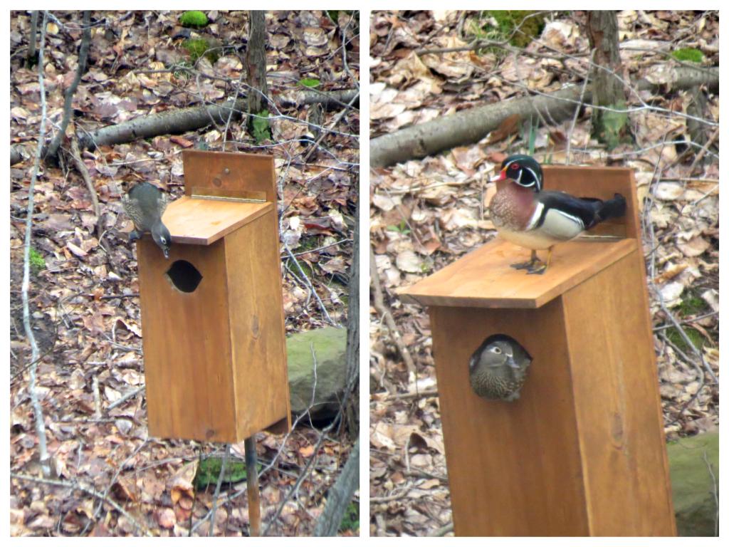 Nesting pair of wood ducks.