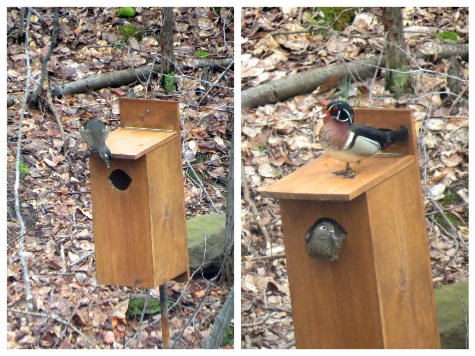 Wood duck nesting box brings a variety of avian visitors wildlife nesting pair of wood ducks publicscrutiny Choice Image