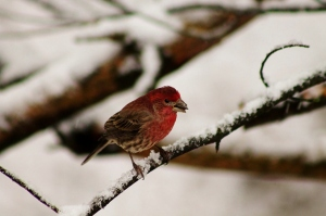 House Finch, one of the many gorgeous photos taken by Eli during his birding excursions