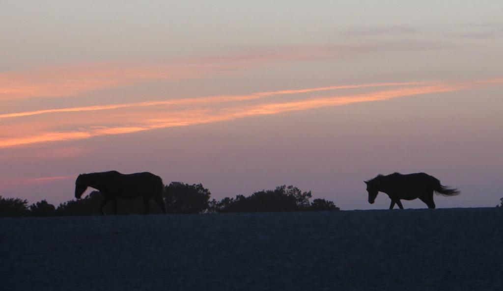 Assateague ponies at dusk