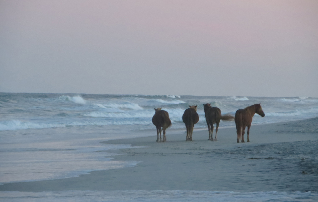 Ponies Roaming the beaches of Assateague Island