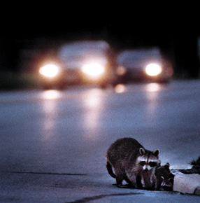 raccoons_on_highway