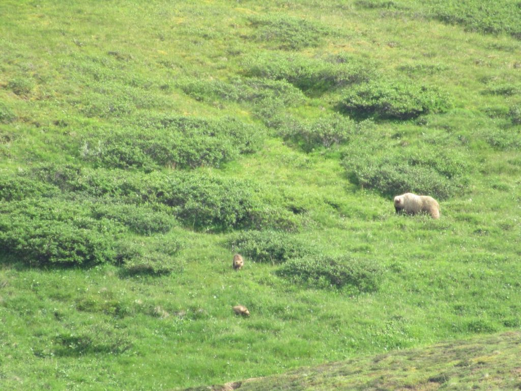 A mother grizzly bear would graze on vegetation while her two cubs play around and wrestle.
