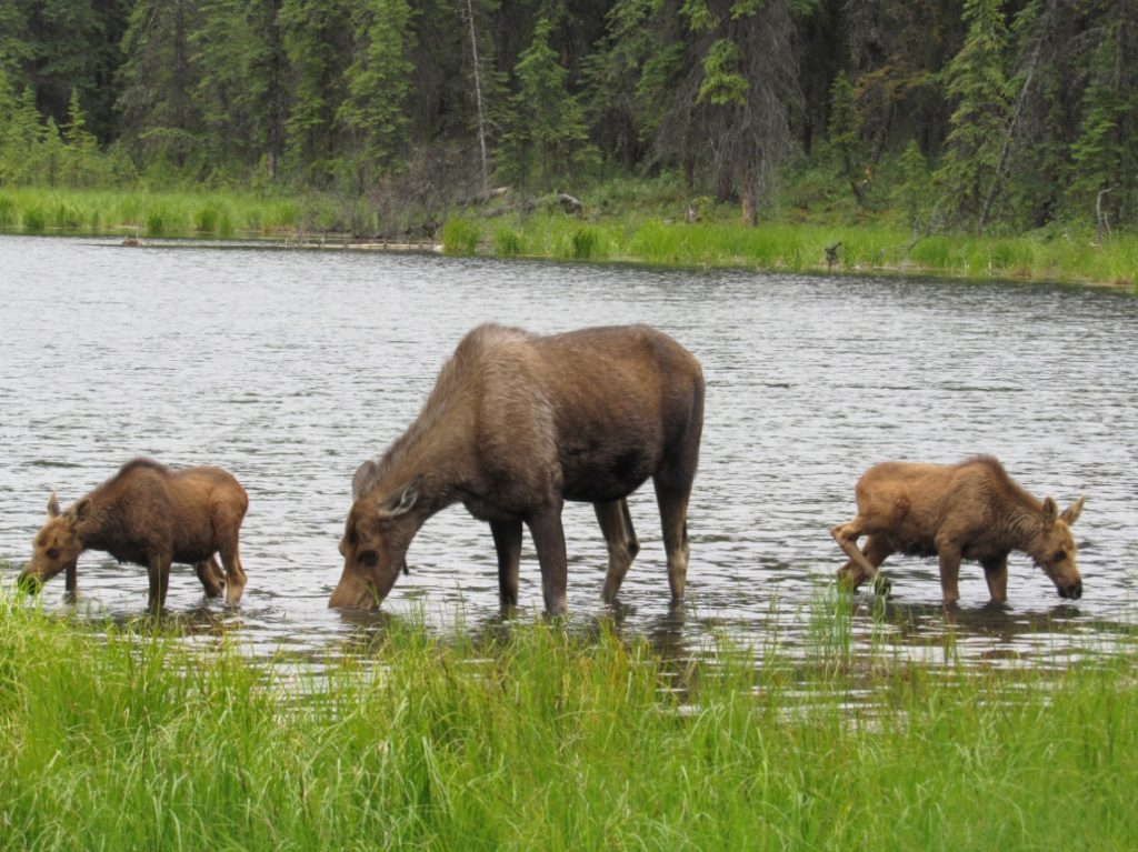 The three moose would continue grazing and soon disappear into the woods.