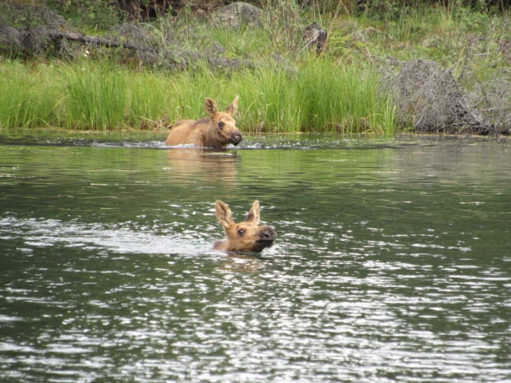 The two fawns would come out of hiding and swim towards their mother once all the people were gone.