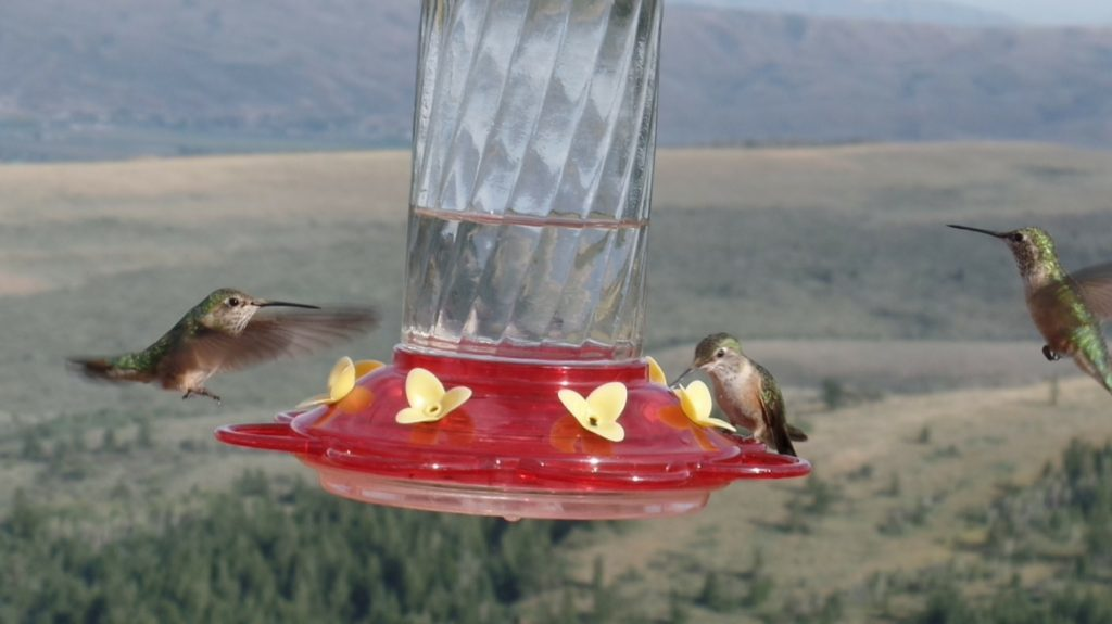 A hummingbird enjoys its well-earned drink of nectar while two others fight the strong winds to achieve the same prize.