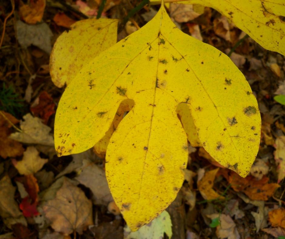 A typical three-lobed sassafras leaf in autumn.