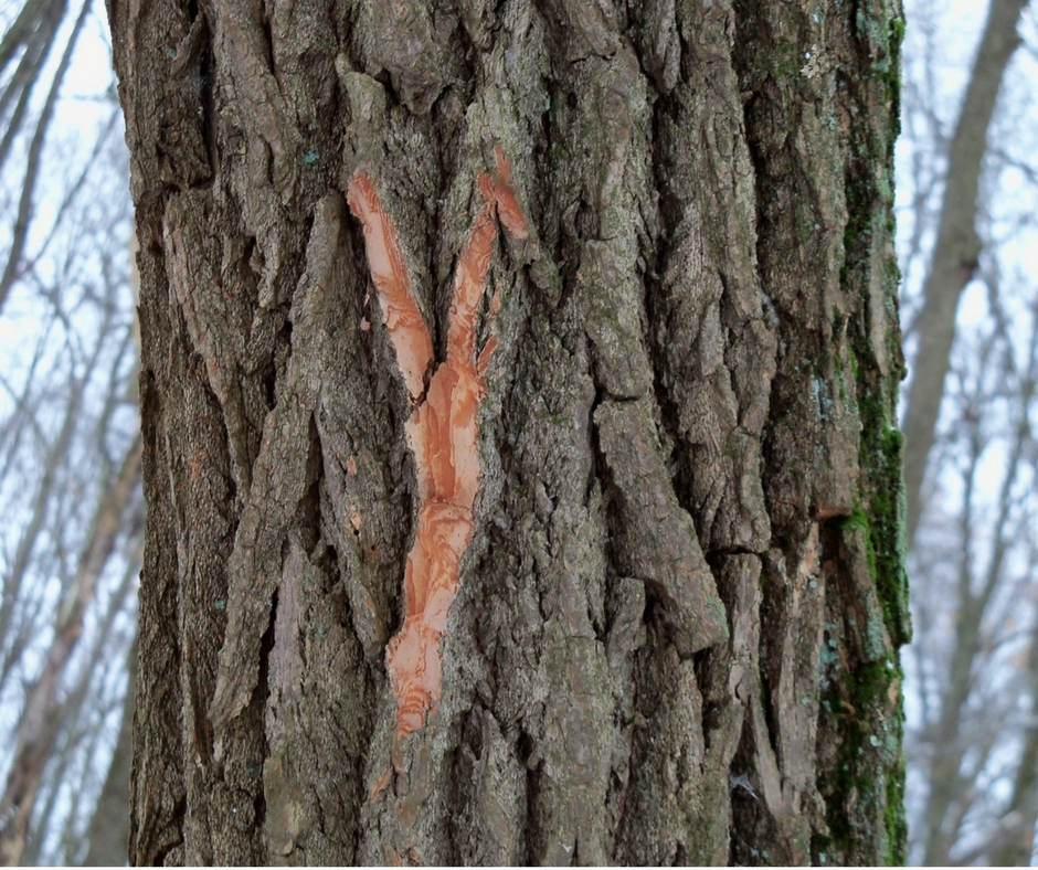 Bark of a mature sassafras with a few pieces broken off, revealing the reddish-orange beneath.
