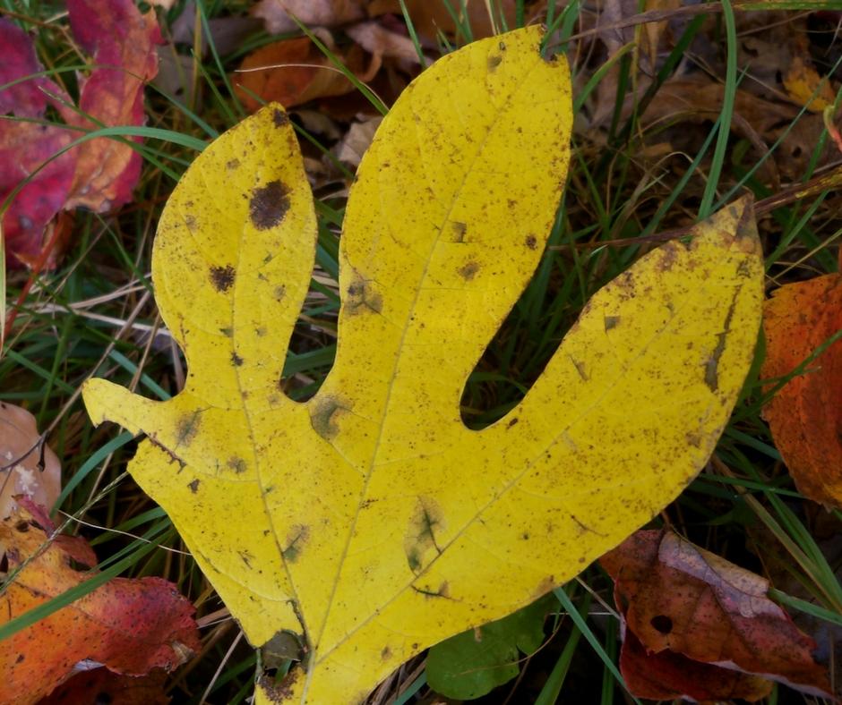 A rare four-lobed sassafras leaf.