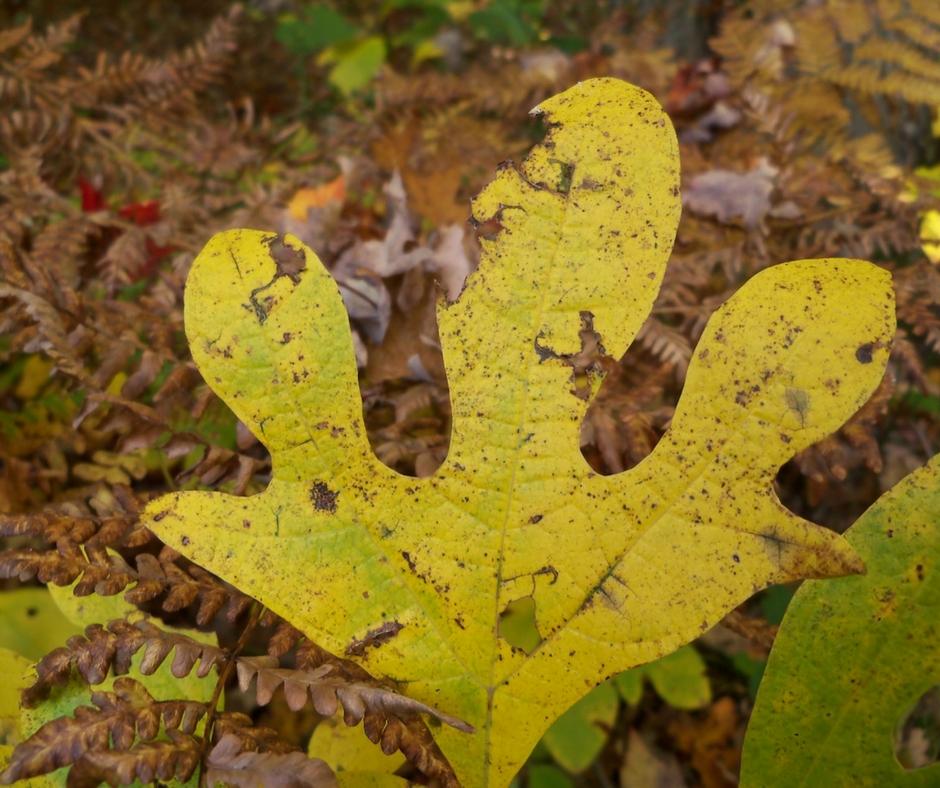 A rare five-lobed sassafras leaf.