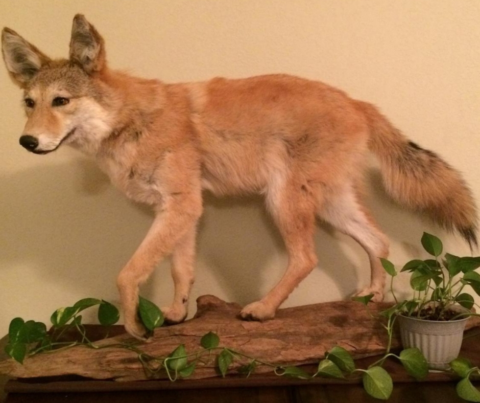 coyote taxidermy