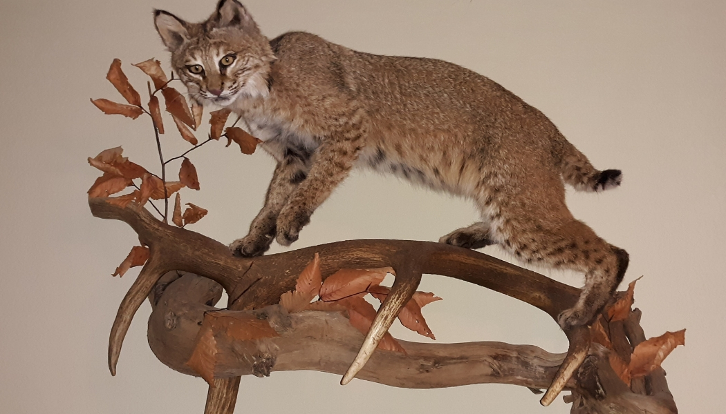 taxidermy bobcat
