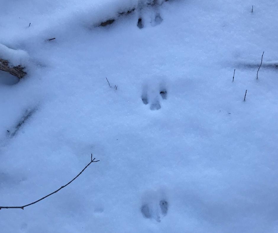 Deer prints in snow