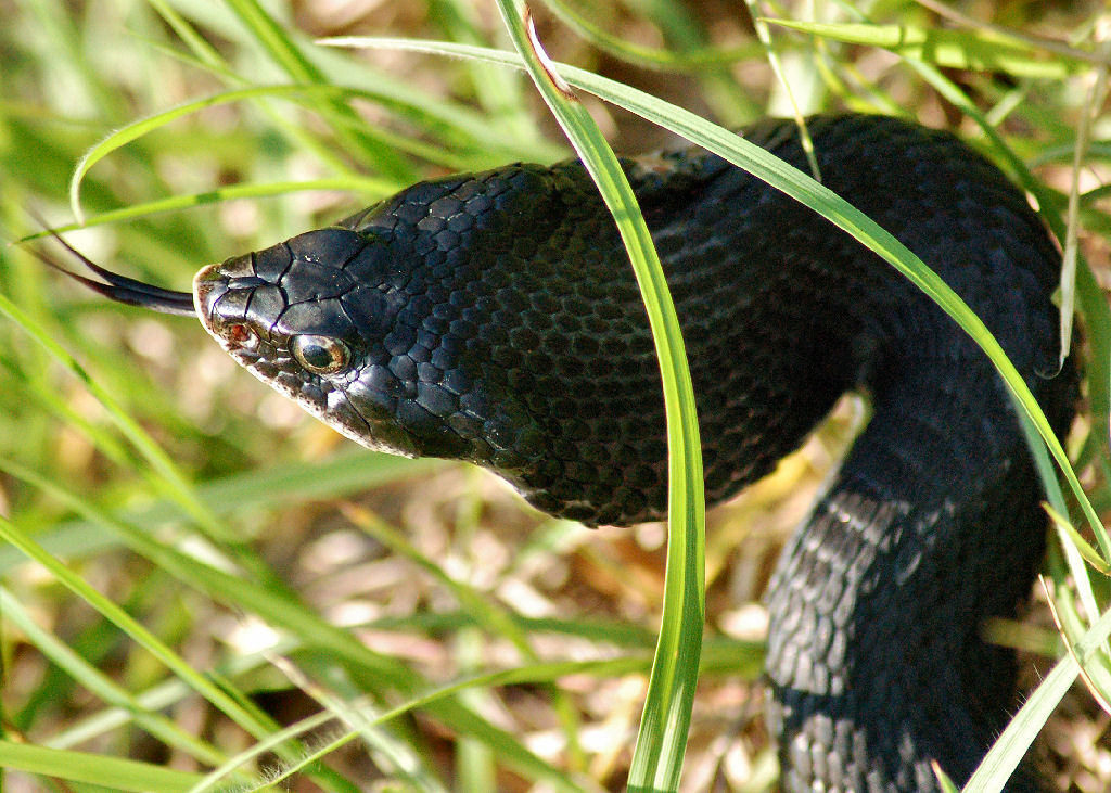 snake hissing in tall grass