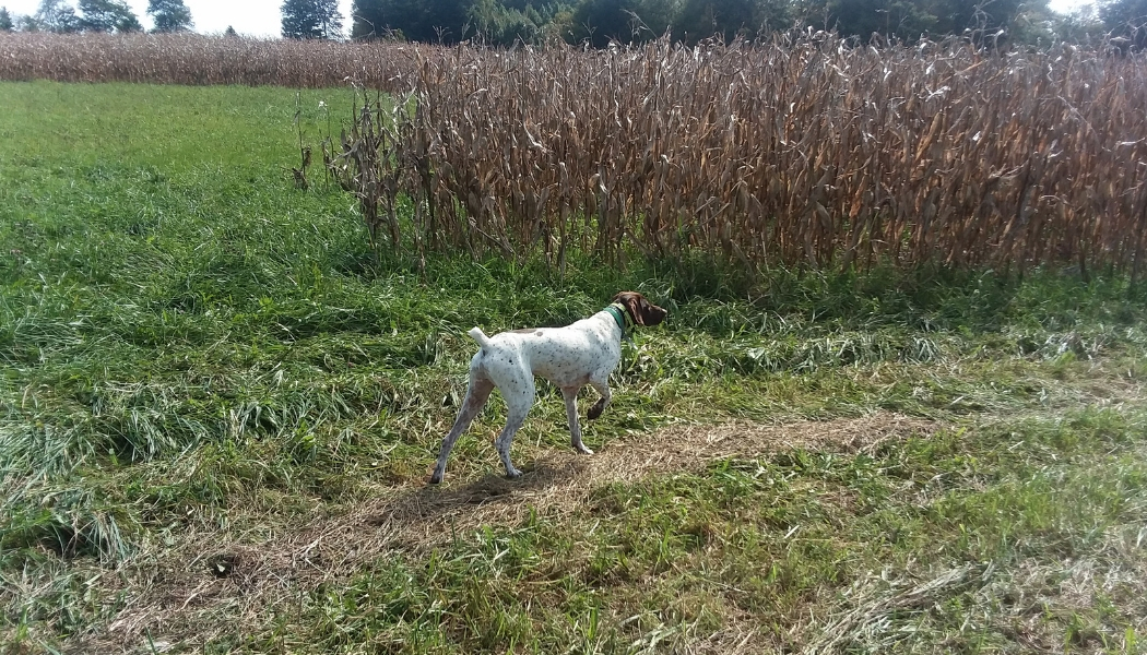 A brown and white dog lifting one paw and pointing its nose into the distance. He is standing by a field and green grass
