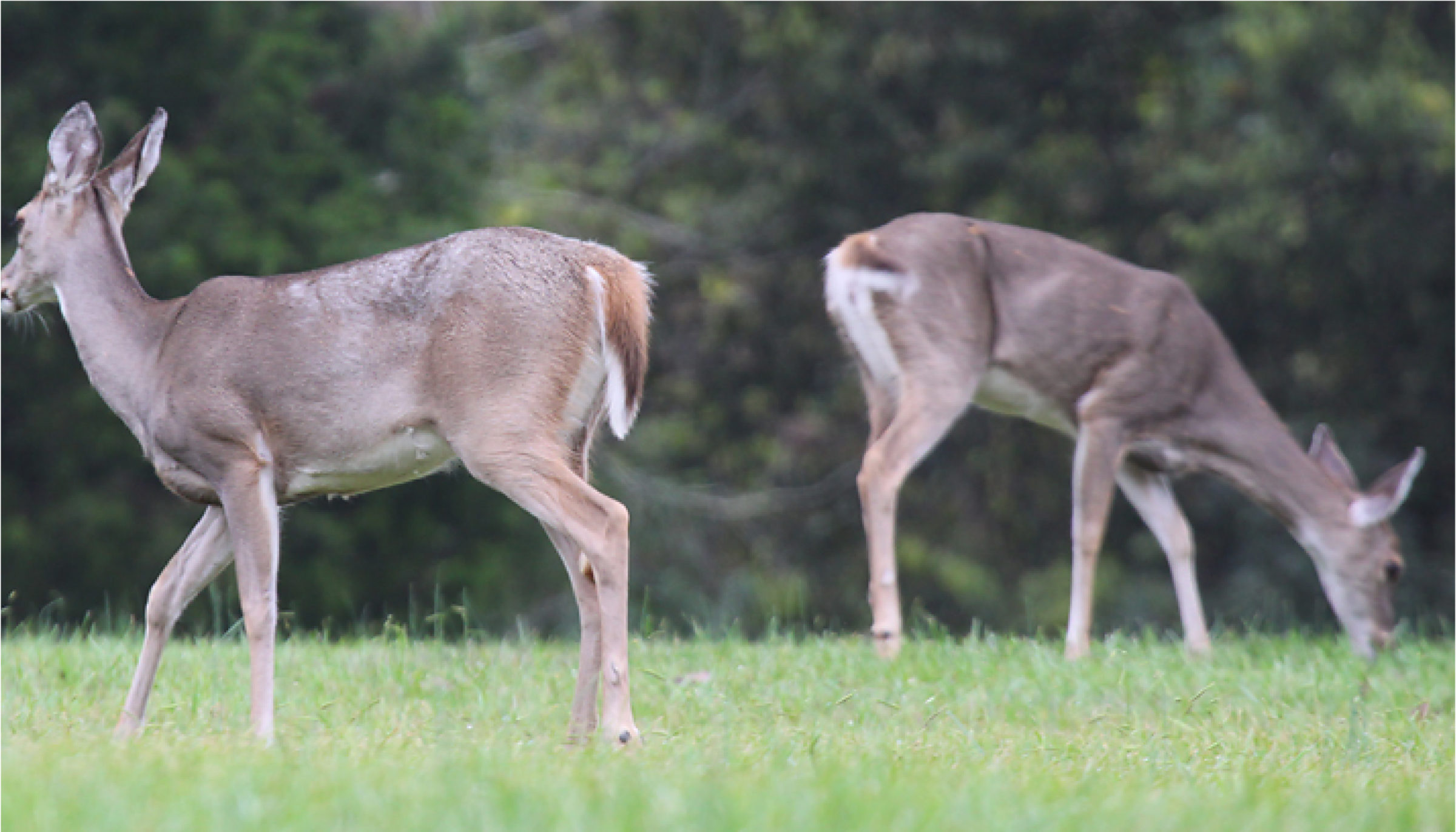 This photo shows two doe grazing