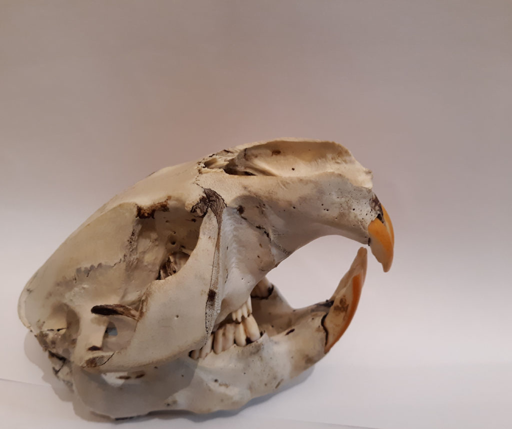 A beaver skull, the highlight of the photo is the beavers long yellow orange teeth.